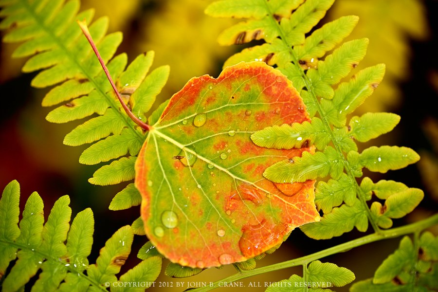 Aspen leaf, Gunnison National Forest, Colorado (2012)