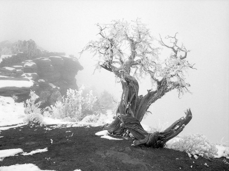 Utah Juniper, Dead Horse Point State Park, Utah.